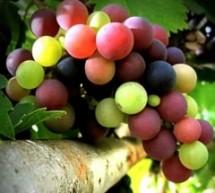 العنب يقي من العمى